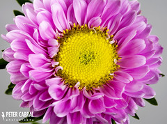 Aster Flower (Peter Cabral Photography) Tags: pink flowers flower macro art beautiful yellow canon bokeh australian australia aussie 2470mm macroflower canonmacro 5ds canadiansabroad canon5ds 50megapixel canonaustralia cabralphotography