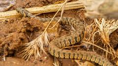 Natrix sp. (Lil d'un Naturaliste) Tags: algeria saad algrie sidi natrix oued laghouat touil gueltat