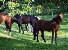 Neugieriges Pferd - Curious horse (Lala89_Photos) Tags: horses horse animal herd pferd tier eveninglight abendlicht herde