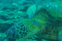 turtle1Jun20-16 (divindk) Tags: cheloniamydas hawaii hawaiianislands kauai underwater cleaningstation diverdoug greenseaturtle marine ocean reef sea seaturtle symbiosis turtle underwaterphotography