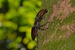 Lucanus (Lucanus) cervus (Linnaeus, 1758). Macho (Jesús Tizón Taracido) Tags: coleoptera polyphaga scarabaeiformia scarabaeoidea lucanidae lucanuscervus