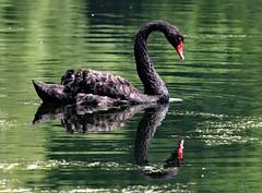 BLACK SWAN (gazza294) Tags: swan flickr flicker flckr flkr garymargetts gazza294
