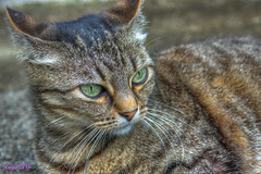 Mi gata. Explore. (loriagaon) Tags: espaa naturaleza cats macro nature animals gatos galicia animales pontevedra loria loriagaon rx10lll sonyrx10lll sonydscrx10iii