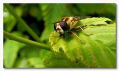 Zweefvlieg 2 (Omroep Zeeland) Tags: tuin middelburg zweefvlieg