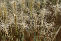 Beautiful Weeds (Let Ideas Compete) Tags: summer plant nature grass weeds pattern july spores concordians