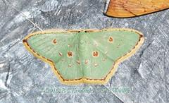 GEO Geo Comostola meritaria (hkmoths) Tags: hongkong moth lepidoptera geometridae newterritories yuenlong insecta geometrinae inaturalist hongkongmoths nationalmothweek comostolameritaria kadoorieinstituteshekkongcentre