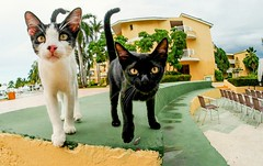Hotel friends. (CWhatPhotos) Tags: pictures wild two sky pet cats sun holiday hot water animal june digital cat that island four photography hotel feline holidays day skies foto image artistic time pics cuba pussy sunny pic olympus images clear have tryp photographs together coco photograph fotos cuban which contain cayo hols 2016 pussys hirds hoteltryp hoteltrypcayococo cwhatphotos