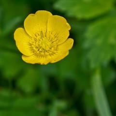 buttercup Meadow (JOHN BRACE) Tags: park buttercup meadow ranunculus seen ranunculaceae tilgate crawley acris