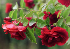 Garden roses [Explored 2016-06-24] (kaffealskare) Tags: red roses dof depthoffield raindrops redroses rda rosor flammentanz regndroppar