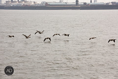 In flight moving (alun.disley@ntlworld.com) Tags: nature weather birds liverpool action wildlife birdsinflight canadageese wallasey wildfowl rivermersey portsandharbours