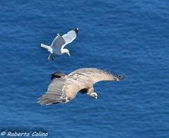 (Roberto Colino) Tags: birds wildlife seagull birding vulture birdwatching birdingspain robertocolino