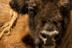 Bisonte americano (seguicollar) Tags: virginiasegu mamfero bisonte zoo madrid nikond5200 airelibre cabeza hocico marron fragmento artiodctilo bovidae cibolo bfalo bovinae animal cuadrpedo