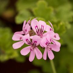 Day 6 36 Logan Botanic Garden pink flowers (bob watt) Tags: uk plants flower june canon scotland 7d 2016 18135mm loganbotanicgarden canoneos7d kirkcudbrightholidayjune2016