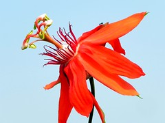 Red Passionflower (Barakat's Photography) Tags: passiflora redflower