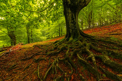 Agarrado a la vida (Alfredo.Ruiz) Tags: tree nature leaves forest spring roots beech moos belaustegui