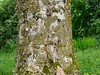 old sycamore tree with Lobarion (aburgh) Tags: blsfieldmeeting scotland isleofskye lichen corticolous foliose
