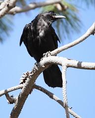 American crow, Corvus brachyrhynchos (jlcummins - Washington State) Tags: bird canon wildlife washingtonstate corvusbrachyrhynchos bentoncounty tamronsp150600mmf563divcusd
