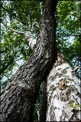 20160610-015 (sulamith.sallmann) Tags: pflanzen baum baumstamm birke brandenburg bume deutschland germany oderspree plants schlaubetal symbiose tree verwachsen deu sulamithsallmann