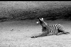 Damarazebra - Burchell's zebra - Equus quagga antiquorum (AchimSchmidt) Tags: horse zoo erfurt zebra pferd tier equus fohlen burchells quagga tierfotografie antiquorum