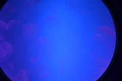 Last look at the Medusa jellyfish (oldandsolo) Tags: canada ontario toronto torontocity lakeontario trainterminus trainterminal railwayterminal aerialview cbd torontofinancialdistrict railwayland formercoachyards ripleysaquariumofcanada fishtank livefish jellyfish seajellies seajelly medusozoa cnidaria backlighting backlit medusajellyfish
