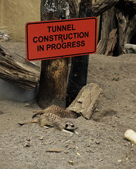Tunnel Construction in Progress (Steve Taylor (Photography)) Tags: wood red newzealand orange brown tree animal sign fun zoo construction meerkat digging wildlife tunnel nelson dirt nz trust trunk southisland inprogress enclosure natureland