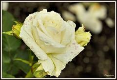 _JVA6896 (mrjean.eu) Tags: park pink flowers blue roses white france flower macro fleur rose yellow fleurs garden nikon jardin botanic lorraine botanique parc metz 105mmf28