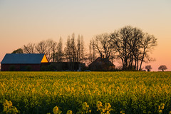 Sunset over yellow field (Infomastern) Tags: sunset field landscape countryside raps canola rapeseed solnedgng landskap sdersltt flt landsbygd