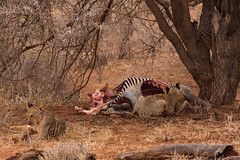 Afternoon Meal (sr667) Tags: female canon kenya lion sigma zebra ke eastern samburu animalia mammalia equus panthera isiolo carnivora femalelion pantheraleo felidae equidae chordata synapsida grevyszebra perissodactyla pleo samburunationalreserve equusgrevyi taxonomy:kingdom=animalia taxonomy:class=mammalia taxonomy:phylum=chordata taxonomy:order=carnivora 150500mm taxonomy:family=felidae 150500mmf563apodgos isioloeasternkenya