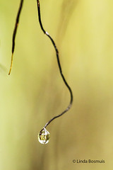 At the end of the line.... (lindabosmuis) Tags: macro netherlands closeup canon waterdrop arnhem drop 100mm tak 6d druppel dauwdruppel