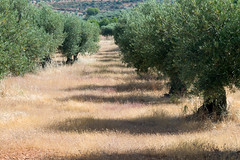 Olive grove (Ignotus the Mage) Tags: summer spain fig almond olive toledo montebajo losnavalmorales