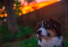 Diva Dog (Lynleigh Cooper) Tags: dog puppy puppies cute cuteanimals cutie cuteness focus sunset color colors colorful colorimage red orange bokeh smooth smoothbokeh outdoors outside outdoor backyard home pets pet petphotography petpictures aussie australianshepherd boy little sweet beauty beautiful beautyinnature oklahoma oklahomacity nikon nikond750 d750 pretty primelens sigma sigma35mm sigmalens evening new nature naturalbeauty natureshot naturecloseup animals animal love lovely naturephotography naturallight fullframe magic