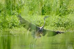 Filtered (brev99) Tags: park bird grass pond ngc greatblueheron d7100 topazdenoise tamron70300vc highqualityanimals