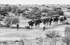 RAD20160610_020 - Munga Thirri Expedition, Simpson Desert AUS  (Kodak BW400CN) (Cecilia Temperli) Tags: rad20160610 arollinadayadayinaroll australia camelexpedition camels trekking desert packcamels film kodak kodakbw400cn nikon nikonfm3a simpsondesert mungathirrisurveyexpedition dromedary australiandesertexpeditions