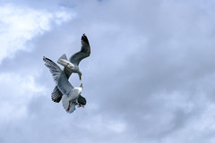 Battle In The Sky (Percy M) Tags: ocean blue seagulls white birds animal clouds air flight