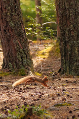IMG_9508 (Switch62) Tags: schotland2016 scotland 2016 aviemore rothiemurghus red squirel