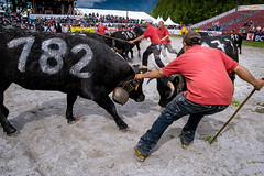 Cow Fight - The Officials #1 (Gerald Verdon) Tags: people mountains alps animal switzerland cow fight culture tradition reine sion gettyimages valais cowfight aproz combatdereines rabatteur hrensbreed nikonafs1835mmf3545ged