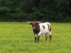 Bulls Like Buttercups, Too (Gerry Dincher) Tags: cattle beef northcarolina bull pasture grazing buttercups cumberlandcounty beefcattle hopemills parktonroad