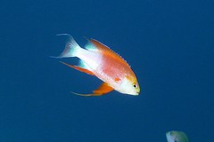 flitter (BarryFackler) Tags: ocean life sea fish nature water ecology animal coral fauna island hawaii polynesia bay marine underwater pacific being dive scuba diving sealife pacificocean tropical marinebiology diver bigisland aquatic reef creature biology undersea kona ecosystem coralreef marinelife vertebrate zoology seacreature marineecology organism honaunau konacoast hawaiicounty southkona hawaiiisland 2013 marineinvertebrate honaunaubay marineecosystem westhawaii longfinanthias konadiving bigislanddiving hawaiidiving sealifecamera barryfackler hawaiianlongfinanthias barronfackler pseudanthiashawaiiensis phawaiiensis