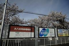 (ddsnet) Tags: travel plant flower japan sony  cherryblossom  sakura nippon  kansai  nihon hanami  backpackers  flower     nex        cherry kyotofu blossom mirrorless  japan   flowerinjapan newemountexperience nex7
