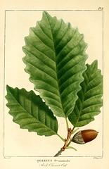 Anglų lietuvių žodynas. Žodis quercus montana reiškia <li>Quercus montana</li> lietuviškai.