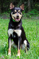 Limit 1 Year Old Head Shot (falon_167) Tags: dog australian limit kelpie australiankelpie