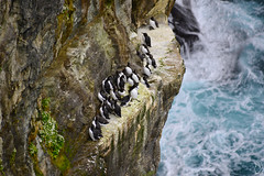 Guillemots and cliff