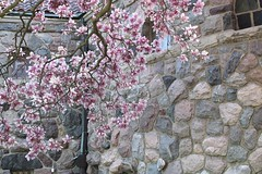 Magnolia Corner (marylea) Tags: pink flowers spring catholic michigan blossoms annarbor magnolia catholicchurch blooms magnolias stthomasaa stthomastheapostlecatholicchurch