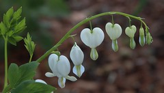 White Bleeding hearts (Thank you for ONE MILLION VIEWS !!!!) Tags: white flower nature hearts bleeding