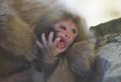 Newborn Baby (Masashi Mochida) Tags: baby snow japan monkey nagano jigokudani supershot specanimal
