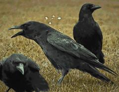 188 (ClockworkElf) Tags: black bird art field birds photo profile picture crow crows blackbird