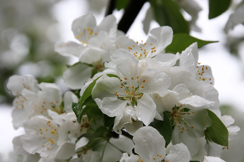 Grey day, white blossoms