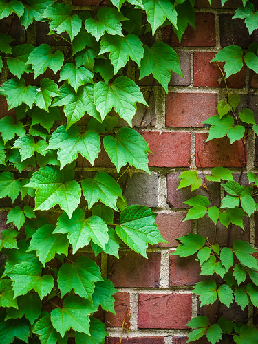 Ivy on Brick