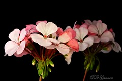 Sylvia's Geraniums. (Paul F Gannon) Tags: supershot naturesharmony sunrays5 creativephotocafe flowerthequietbeauty