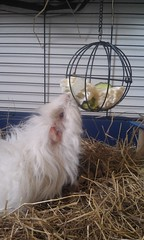 Selene is eating from the feeding ball (Scratchblack) Tags: pet white cute girl animal guineapig eating adorable fluffy swedish husdjur selene piggie marsvin lunkarya gnagare feedingball